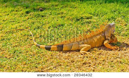 iguana running away on green grass lawn