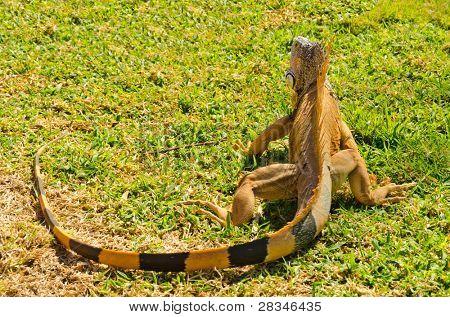 back of iguana running away on green grass lawn