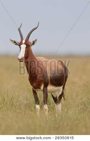 Bontebok (damaliscus dorcas) at Bontebok National Park in South Africa.