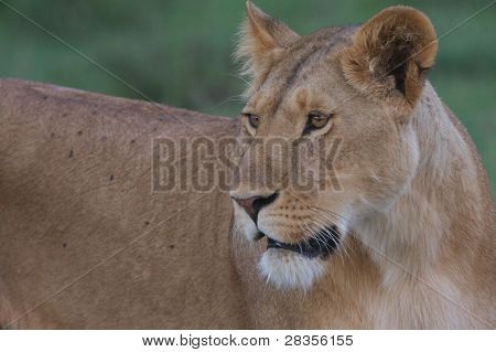 Lioness in focus