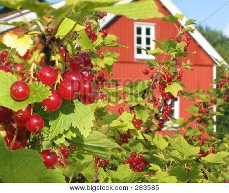 Currant Berries On The Farm