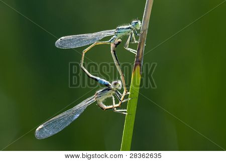 Macro of two dragonflies copulating on stalking