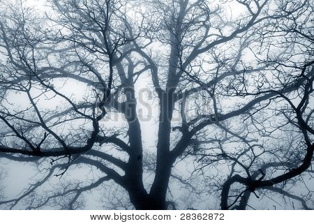 Old oak tree silhouette on a foggy day.