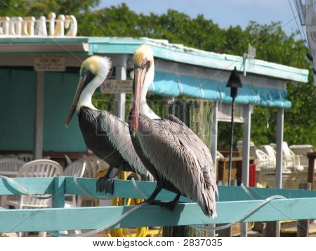 Pelicans In The Florida Keys
