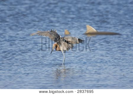 Reddish Egret Fishing With A Shark In The Background
