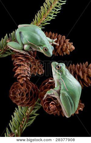 Two Frogs On Pine Cones