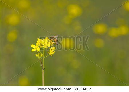 Bee On Wild Mustard