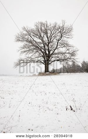Oak (winter)