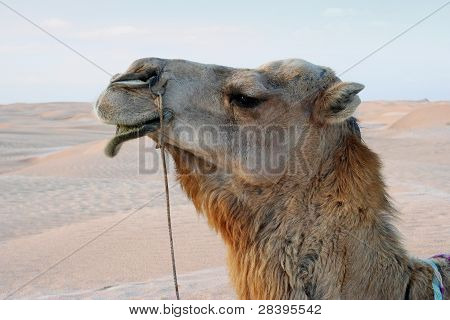 Close-up of camel in desert