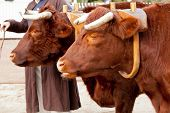 stock photo of oxen  - Pair of oxen in a wooden yoke for pulling cart or machinery - JPG