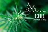 Molecular Structure Medical Chemistry Formula Cannabis Of The Cbd. Medicinal Cannabis With Extract O poster