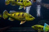 Yellow Peacock Bass(cichla Kelberi) With Other Peacock Bass poster