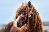 Portrait Of A Brown Stallion Percheron With Beautiful Mane And Harness On Autumn Land. Beautiful Bro poster