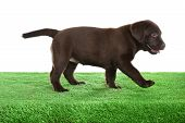 Chocolate Labrador Retriever Puppy On Green Grass Against White Background poster
