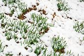 Green Grass Growing On Ground Covered With Snow. Green Grass Blades Sprouting Out From Snow Cover poster