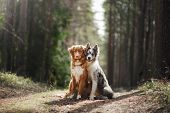 Two Dogs Hugging. Pet For A Walk In The Woods. Toller, Nova Scotia Duck Tolling Retriever And Border poster