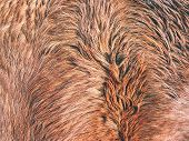 Warm Winter Horse Fur. Brown Fur Detail, Closeup Fur Animal poster