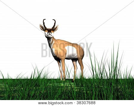 Pronghorn Antelope And Grass