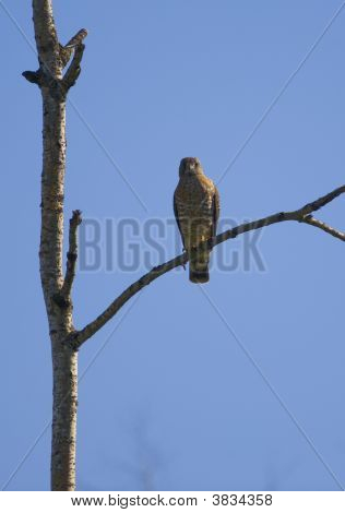 Broad Winged Hawk Perched