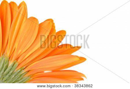 Orange Daisy-gerbera