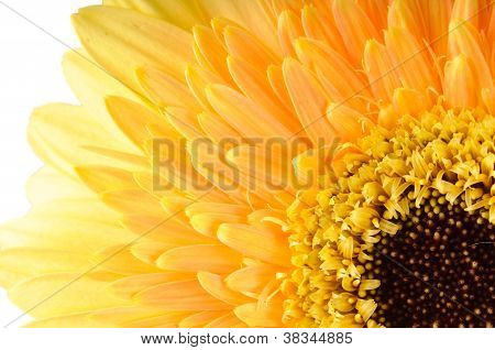 Yellow Daisy-gerbera