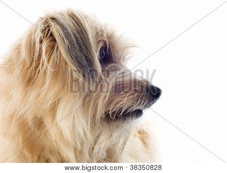 Pyrenean Sheepdog