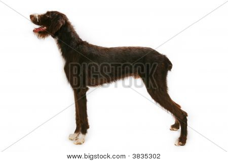 German Wirehaired Pointer Standing