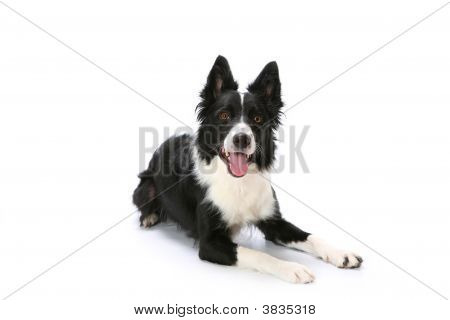 Border Collie Lying Down On White Background