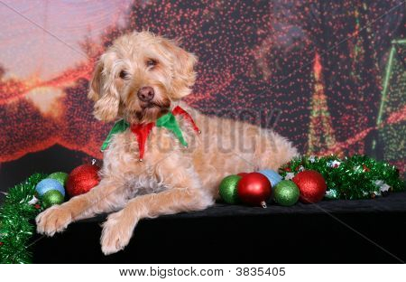 Holiday Portrait Of A Labradoodle
