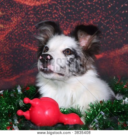 Blue Merle Border Collie Face Against Holiday Background