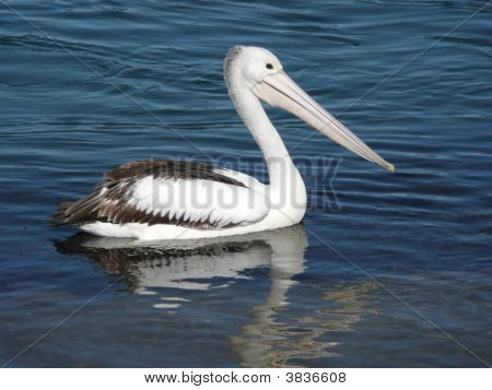 Pelican In Nambucca River Reflection.
