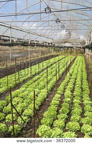 Agriculture Of Iceberg Lettuce In Organic Farm In Thailand