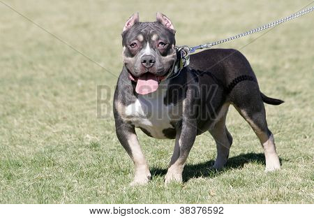 Pocket Pitbull at the Park