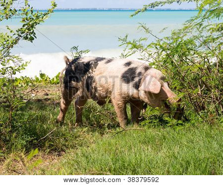 Wild Pig On Beach In St Martin