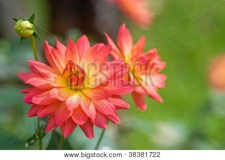 Orange Dahlia Flower