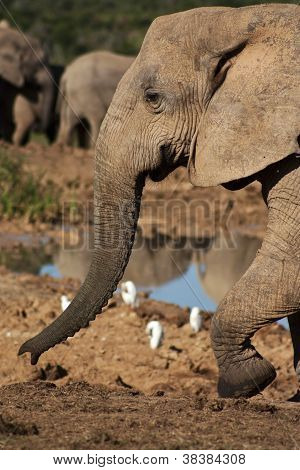 Elephant Cow Walking