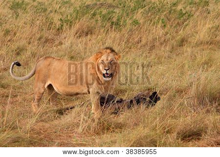 A male lion with his kill