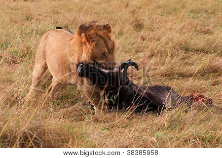 A male lion drags his kill