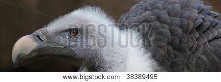 Griffon Vulture - Gyps Rueppellii