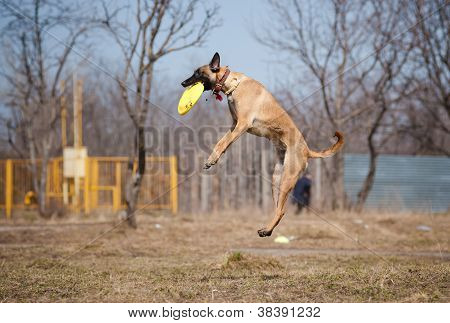 Malinois Shepherd catching disc in jump