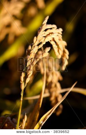 Ear Of Rice In A Field
