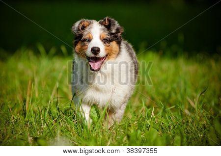 australian shepherd puppy running