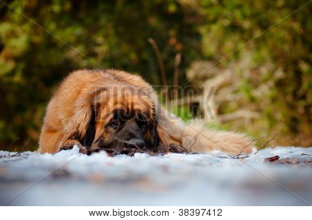 huge red leonberger dog resting outdoors