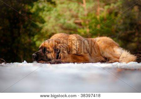 leonberger dog sleeping