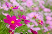stock photo of cosmos flowers  - Bright pink cosmos flower in front of pale pink cosmos field - JPG