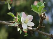 stock photo of apple blossom  - apple blossom in the springtime - JPG