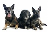 stock photo of belgian shepherd dogs  - portrait of three dogs in a studio - JPG