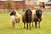 stock photo of feedlot  - three sheep on a willow on a farm - JPG