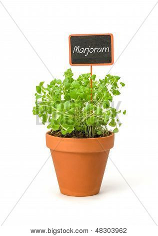 Marjoram in a clay pot with a wooden label