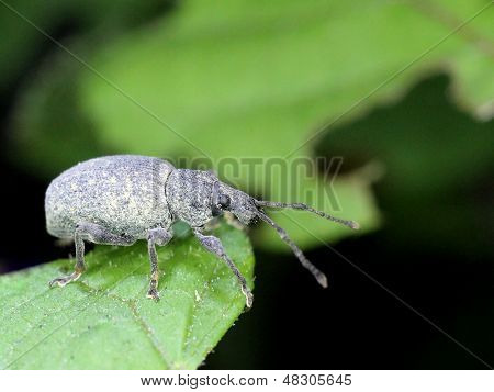 Weevil Eating Leaves